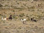 Lamas in den Anden
