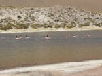 Startende Flamingos