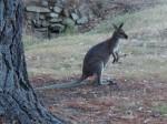 Symbol Australiens