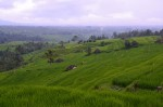 Reisfelder im Norden Balis