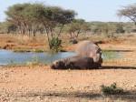Hippos beim Kuscheln
