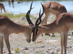 Kämpfende Impala-Böcke