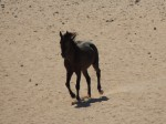 Namib-Wildpferde I
