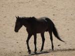 Namib-Wildpferde II