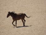Namib-Wildpferde III