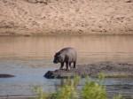 Auch Hippos fangen klein an