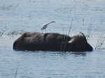 Badender Büffel