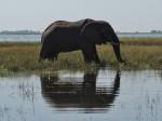 Elefantenbulle im Chobe River