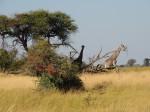 Giraffen im Delta