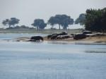 Hippos im Chobe River